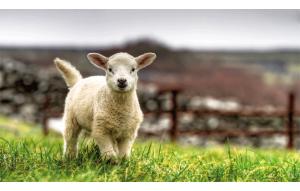 Modèle mouton